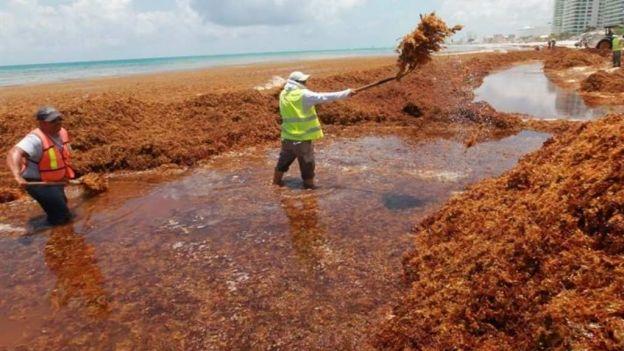 Plaga de algas en Quintana Roo. Foto: Internet