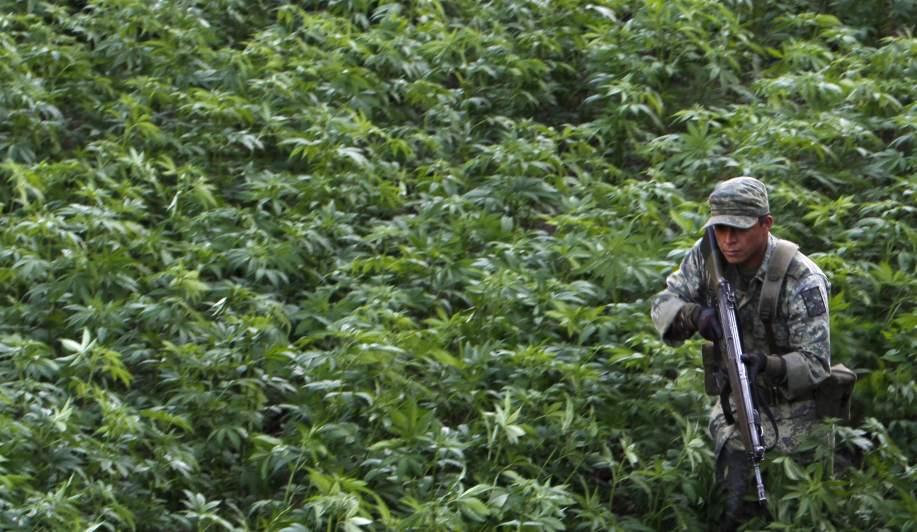 Elemento del ejército en un plantío de mariguana.